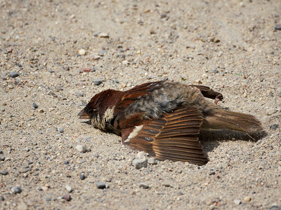 Sandbath. Spanish Sparrow at Sirmione. Lago di Garda
