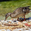 Mallard nestlings at Sirmione. Lago di Garda