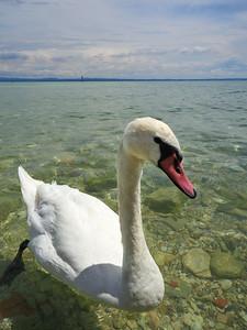 Mute swan. Sirmione. Lago di Garda