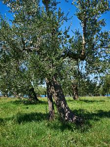 Olive trees by Grotte di Catullo at Sirmione. Lago di Garda