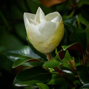 Magnolia. Sirmione. Lago di Garda