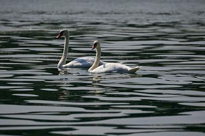 Mute Swans. Lago di Iseo