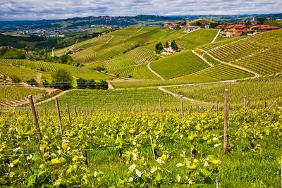 Vineyards in the Piedmont region