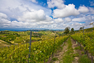 Vineyards in the Piedmont