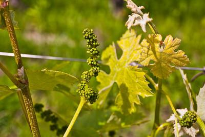 The beginning of 2016  Barbaresco  wine