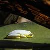 Reed Frog - Heterixalus madagascariensis