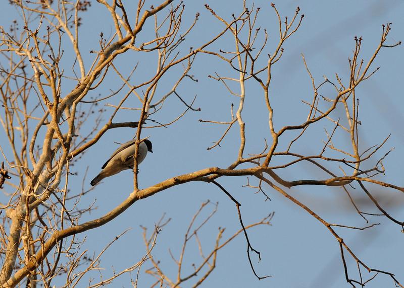 Ashy Cuckoo Shrike