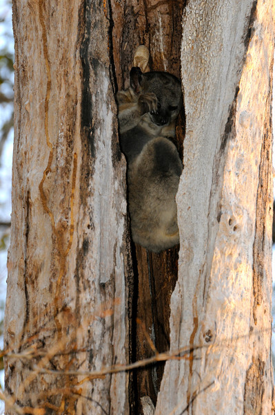 Red Tailed Sportive Lemur