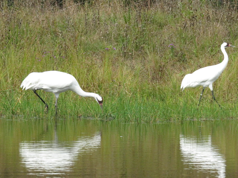 Two whooping cranes together.