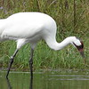 An endangered whooping crane fishing at the foundation.