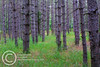 Pines.<br /> Itasca State Park.