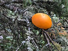 Part of an orange in tree