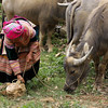Tying water buffalo to rock - Can Cau Market