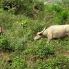 Happy guy with water buffalo near Topas Ecolodge