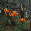 I think these are Turk's cap lilies.
