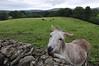 Ulster American Folk Park - Donkey