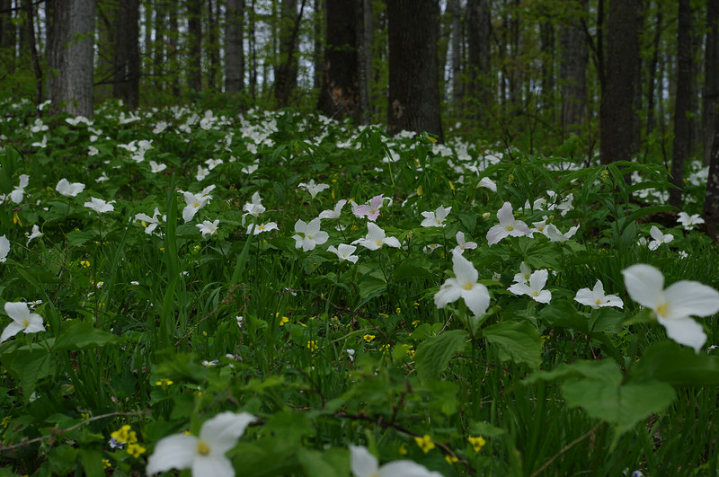 Carpet of Trillium - Leelanau County