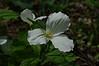 Trillium blossom - Leelanau Peninsula