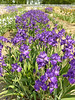 Iris Farm, Traverse City, MI