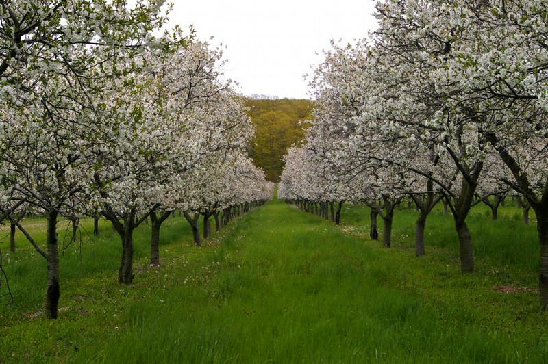 Leelanau cherry orchard #2