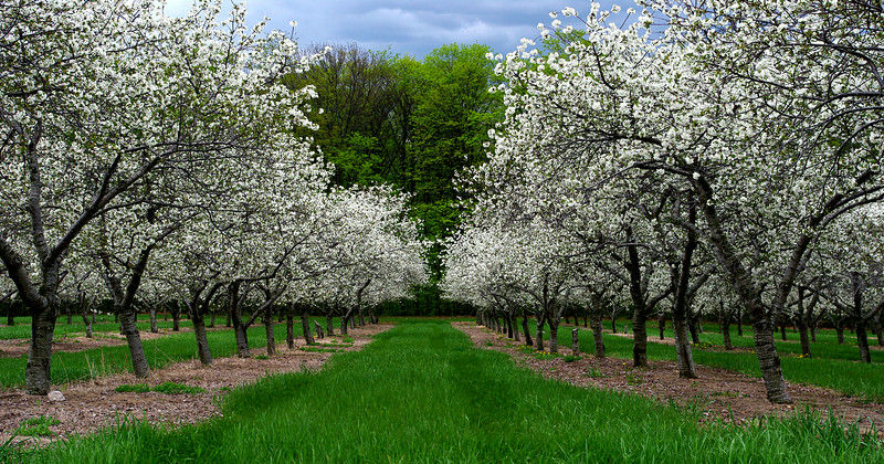 Leelanau cherry orchard
