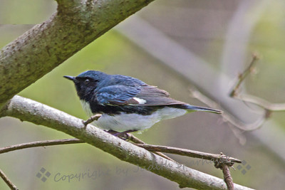 Blue-throated Blue Warbler