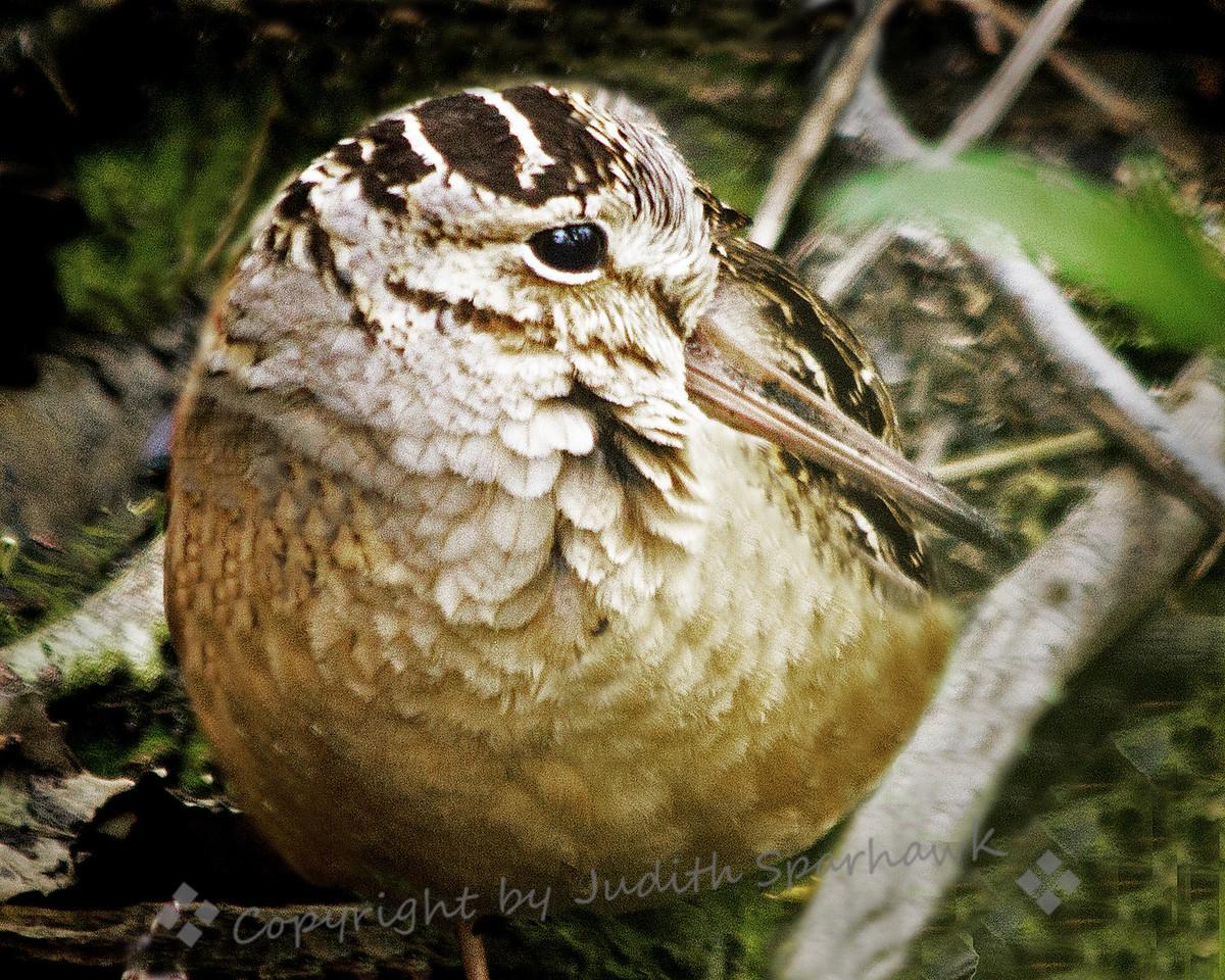 American Woodcock Close-Up