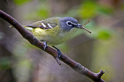 Blue-headed Vireo & Lunch