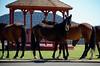 3044 - Wild horses in town - Virginia City, Nevada