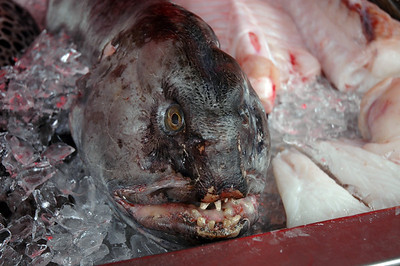 wolffish at Bergen fishmarket