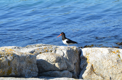 Oyster-catcher on Sommarøy
