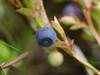 Arandanos silvestres, nuestro aperitivo diario en la isla de Senja