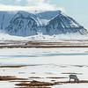 Edgeoya, Svalbard Reindeer