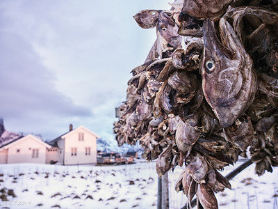 Frozen Fisheads .