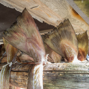 Fresh fish hang out to dry in Sakrisøy