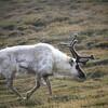 Norway - Reindeer at Svaalbard Island _MG_9080