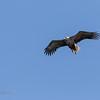 Sea eagle approaching