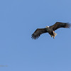Sea eagle approaching