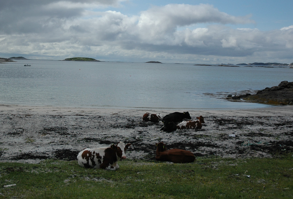 Ahh, yes, the storied Norwegian beach cow....