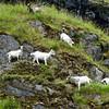 Naroy Fjord Goats
