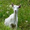 Naroy Fjord Goat