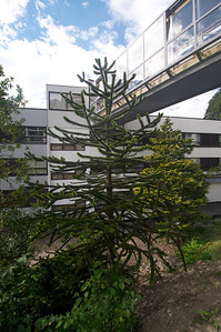 Strange looking tree in Geiranger - Know what it is?