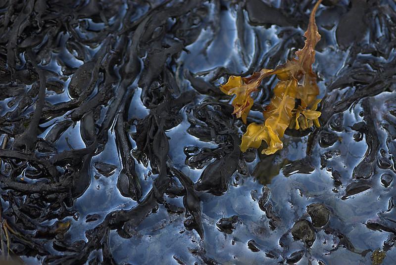 Seaweeds /algas