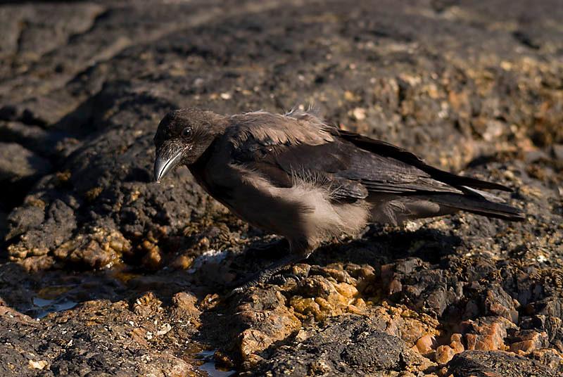 Corneja cenicienta / Hooded crow