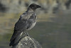 Hooded crow / Corneja cenicienta