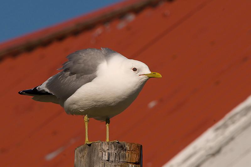 Mew gull / gaviota cana
