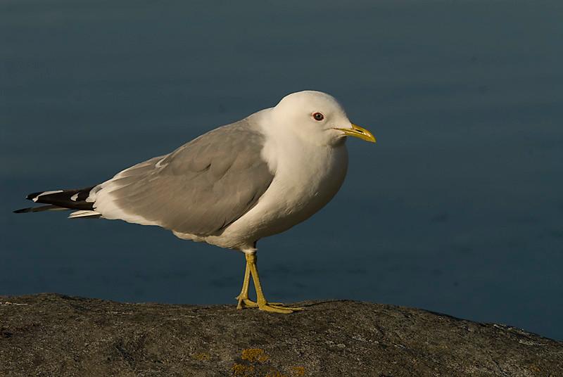 Gaviota cana / Mew gull