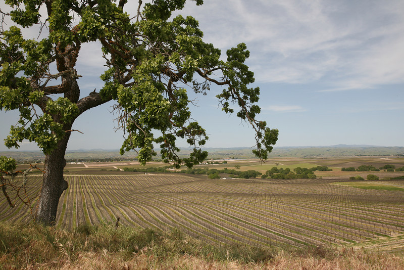 California vineyard on the Central Coast