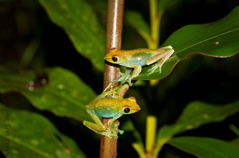 Frogs @night