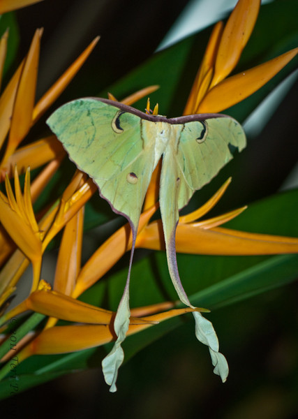 During the night this moon moth (I think that's the name given by the staff) appeared on the flower arrangement in the lobby
